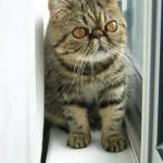 Brown_Exotic_Shorthair_Kitten